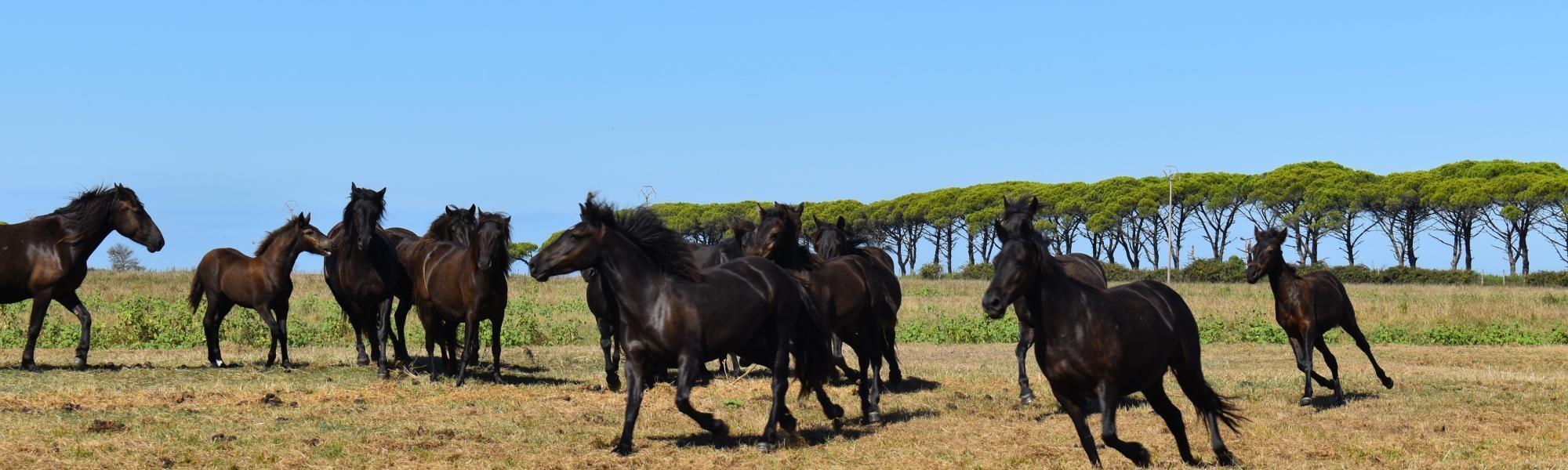 Cavalli Monterufolini al pascolo brado a San Rossore (Parco Naturale Migliarino, San Rossore, Massaciuccoli)