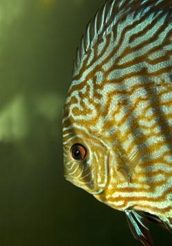 Pesce 'discus' Museo di Storia Naturale di Calci (S. Pozzuoli)