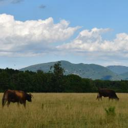 Mucco pisano al pascolo brado (Parco Regionale Migliarino, San Rossore, Massaciuccoli)